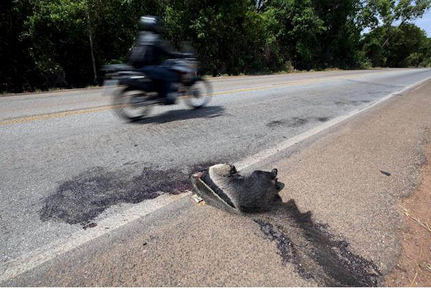 A dead giant anteanter, an endangered animal in Brazil according to IBAMA, lies beside Highway GO 070 in Goias