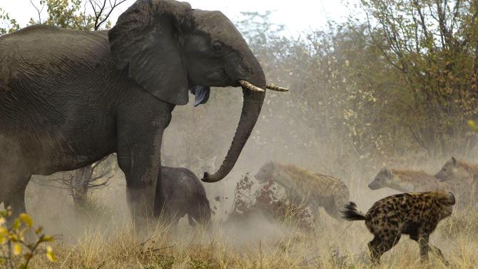 Elephant Fighting Off Hyenas