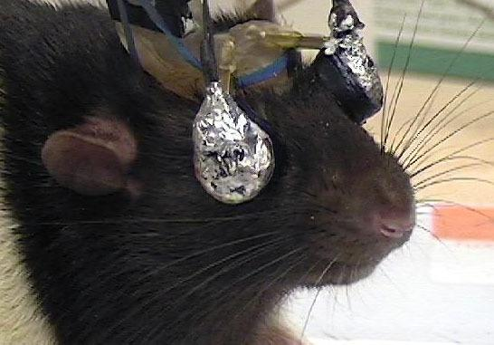 A rat sports a pair of special goggles that deliver different visual cues to each eye.
