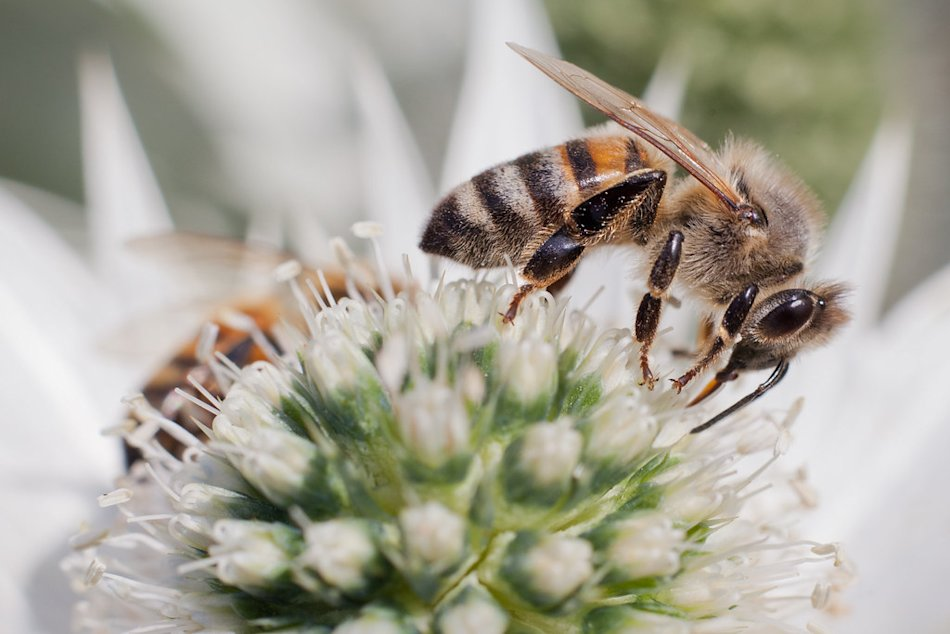 White Gold (Bees Foraging On Blue Cloud), Wisley