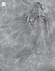 The flying fish (fossil specimen shown here) lived about 235 million to 242 million years ago in an ancient sea.