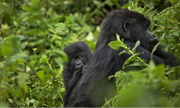In this photo taken Friday, Sept. 4, 2015, a baby mountain gorilla clings to the back of its mother as she forages for food, on Mount Bisoke volcano in Volcanoes National Park, northern Rwanda. Rwanda