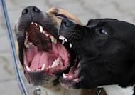 File picture of pitbulls at a dog show in Prague. Philippine police rescued 300 badly injured pitbulls and arrested seven South Koreans after busting a massive online dog fighting syndicate, the head of the operation said Sunday