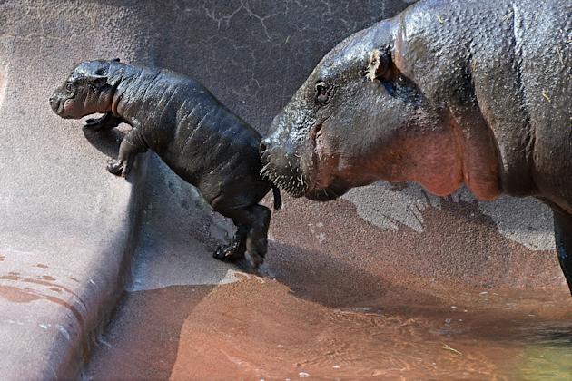 The baby pygmy hippo, Zola, is nudged along by its mother (Caters)