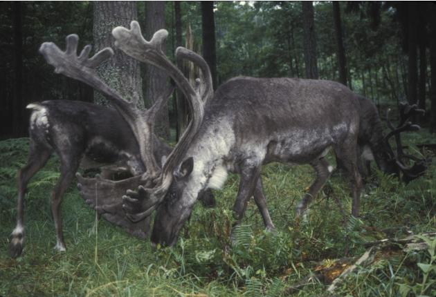 Handout photo of woodland caribou in the Selkirk mountain range in Canada
