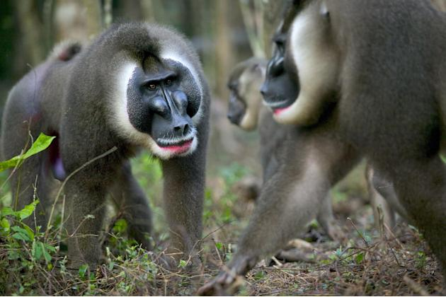 In this undated photo provided by Minden Pictures, a drill (Mandrillus leucophaeus), left, challenges a dominant male, right, for leadership of a harem at a sanctuary in Calabar, Cross River State, Ni