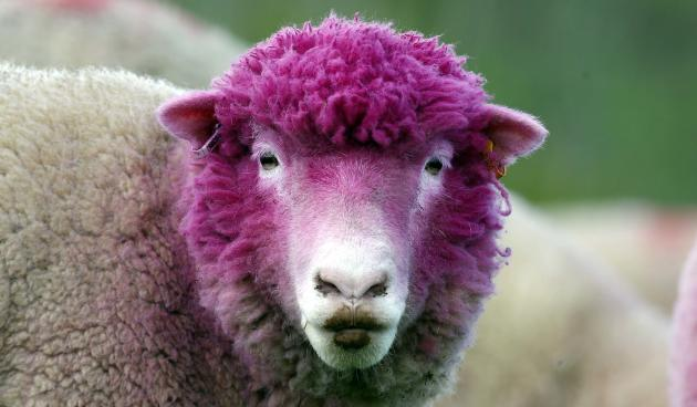 A sheep with dyed pink wool grazes in a field near the village of Balintoy