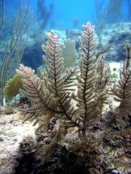 A colony of Antillogorgia elisabethae coral in the Bahamas suffers long-term effects after injury.