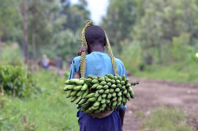 A super-enriched banana genetically engineered to improve the lives of millions of people in Africa will soon have its first human trial, shown here is a young girl in the Democratic Republic of Congo on November 3, 2013