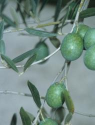 Olives, like the Salonika variety pictured here, were likely first domesticated in the Levant around 6,000 years ago, new research suggests.