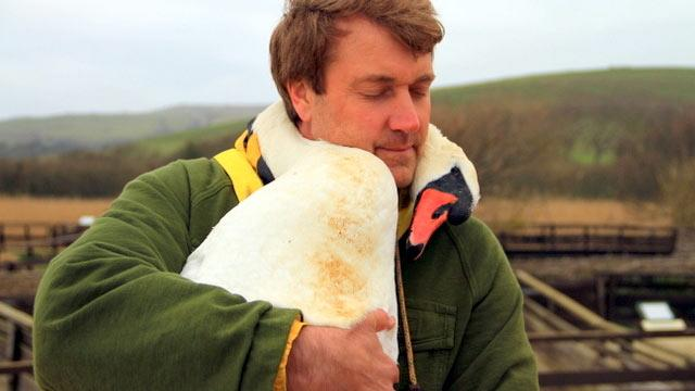 Injured Swan Lovingly Nuzzles Rescuer's Neck