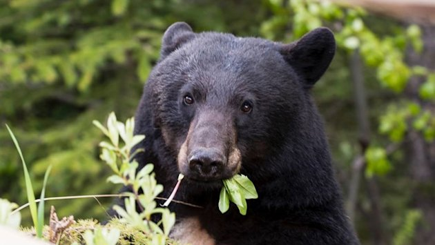 Canadian conservation officers receive 14,000 to 25,000 reports on bears each year.