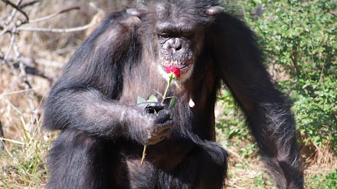 Chimp Reserve 'Baby Daddy' Mystery Grows
