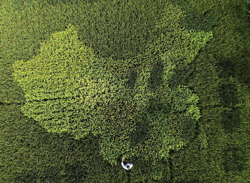 An aerial view shows rice plants in the shape of the map of China in a paddy field in Zhonghong village, on the outskirts of Shanghai, China
