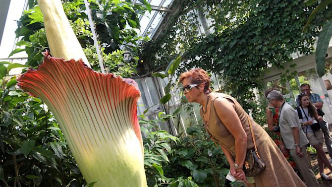 A woman looks at the Amorphophallus Titanum, also known as the Titan Arum or Corpse flower, because of it's smell, one of the world's largest flowers, at the National Botanic Garden in Meise near Brussels, Monday, July 8, 2013. The rare phallus-like flower that springs from the plant only survives about 72 hours. (AP photo/Yves Logghe)