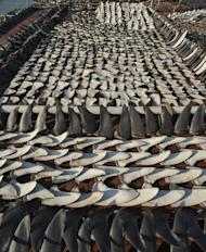 This photo taken on January 2, 2013 shows shark fins drying in the sun covering the roof of a factory building in Hong Kong. Local conservationists expressed outrage after images emerged, calling for curbs on the 'barbaric' trade