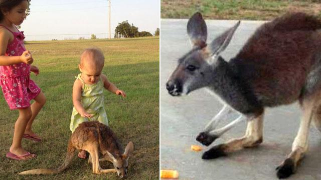 $1,000 Reward For Lost Kangaroo