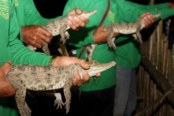 Members of the Village Crocodile Conservation Group prepare to release three of the nineteen Siamese crocodiles.