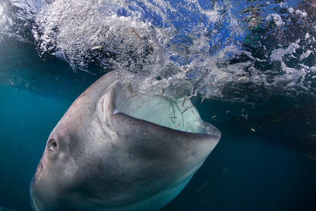 It 39 s behind you diver 39 s unforgettable swim with mammoth for The fish that ate the whale