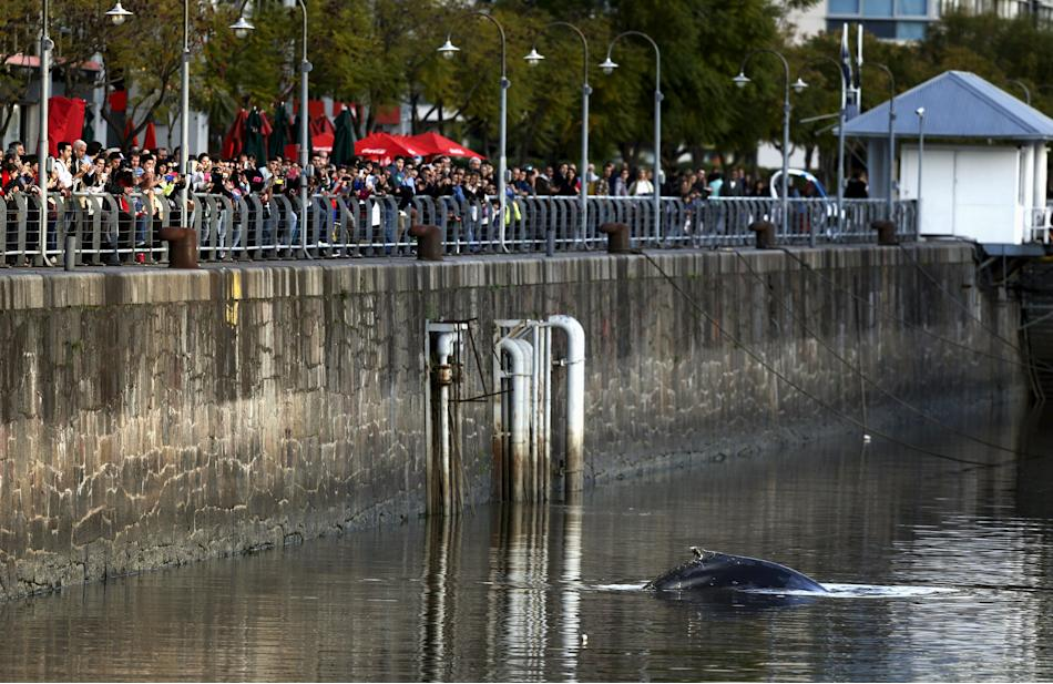 A stranded humpback whale surfaces at the docks of Puerto Madero neighbourhood as people watch in Buenos Aires