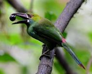 A Crimson rumped Toucanet (Aulacorhynchus haematopygus) at the Peace of the Birds private reserve in Ecuador. Tourism linked to birdwatching has flourished in Ecuador in recent years, and Paz says it could take a birder days to find the vast variety he has in his reserve