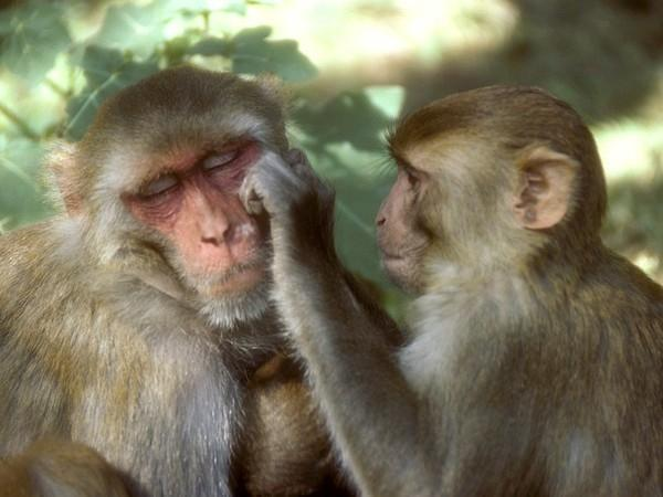 Macaco Rhesus (NationalGeographicChannel)
