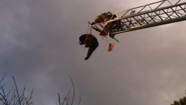 200-Pound Bear Pulled From Colorado Springs Tree