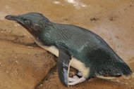 Dirk, a fairy penguin at Sea World on Queensland's Gold Coast, has never been in the wild and is part of a breeding colony. Dirk has been reunited with his mate Peaches