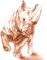When alive, the rhino (Ceratotherium neumayri) would have weighed between 3,300 and 4,400 pounds (1,500 and 2,000 kilograms), about the size of a young white rhino, though sporting a shorter head, Antoine said. The animal was 10 to 15 years old