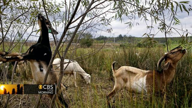 Headlines at 8:30: Goats to graze at Chicago's O'Hare