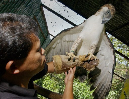 Pag-asa, the first Philippine eagle bred in captivity, is pictured on April 23, 2004 at the Philippine Eagle Foundation in the southern island of Mindanao. She has sired her first offspring, in what conservationists said Thursday was a small victory in efforts to save one of the world's rarest raptors