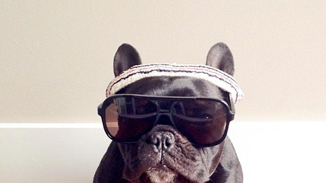 Trotter The Hipster Bulldog