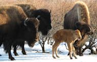 Wood bison, with a calf.
