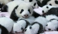 Baby Pandas: First Photgraphs Released