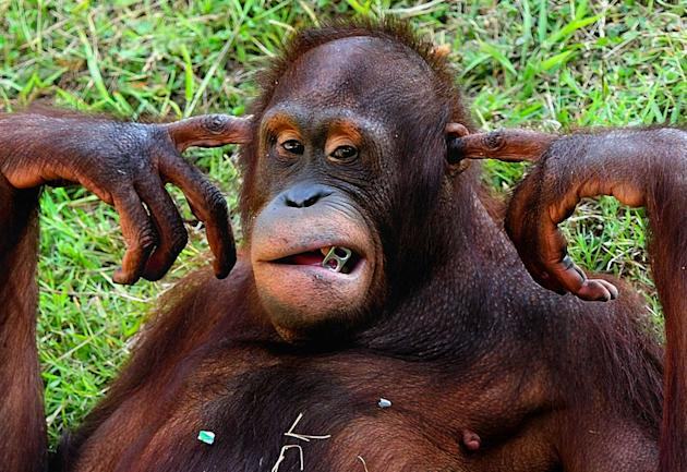Keep the noise down! The orangutan puts his fingers into his ears to drown out the noise just like a human would