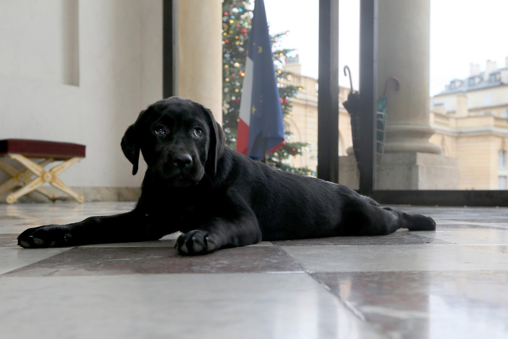 France's Hollande gets a labrador puppy for Christmas