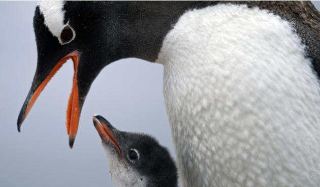 "In this Jan. 22, 2015 photo, a gentoo penguin feeds its baby at Station Bernardo O'Higgins in Antarctica. ""To understand many aspects in the diversity of animals and plants it's important to"