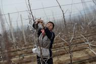 A North Korean woman works on an apple farm near Pyongyang in April 2012. Some 16 million people -- two-thirds of the population -- depend on the state rationing system and suffer varying degrees of chronic food insecurity, six UN agencies operating inside the North say in a report released Tuesday