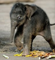 File photo shows elephant calf Pathi Harn shortly after his birth in Sydney's Taronga Zoo in March 2010. The birth of the Asian elephant made headlines after it emerged alive after experts had written it off for dead