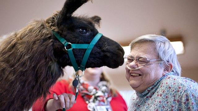 Llamas 'Kiss' Patients' Blues Away