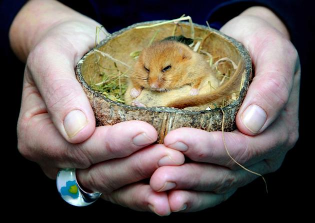 This sleepy dormouse has been rehomed in a coconut shell after he was rescued from a tea shop. He was scooped up by a visitor and taken to the Secret World Wildlife Rescue Centre, near Highbridge in S