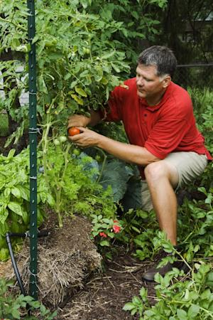 In this publicity photo provided by Cool Springs Press, Minnesota author and gardener, Joel Karsten, picks tomatoes from his straw bale garden. Karsten is the leading evangelist of a straw-bale gardening movement that has become one of this summer's hottest gardening trends. (AP Photo/Cool Springs Press, Tracy Walsh/Poser Design)