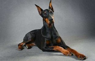 Doberman via Shutterstock