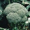 Picture Of Early Dividend Broccoli