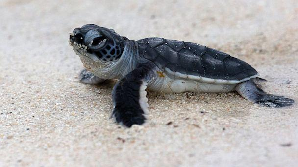 Sea Turtles Disoriented on Florida Island