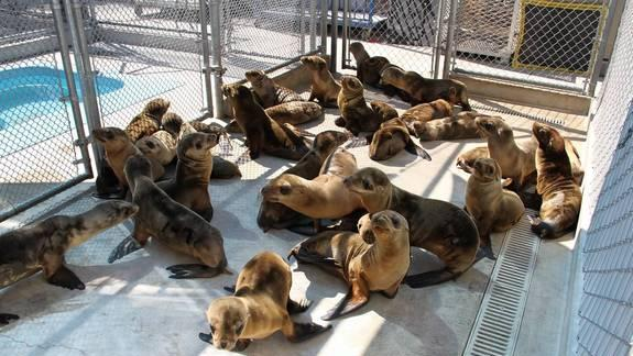 Sea Lion Strandings Climb, Scientists Still Stumped