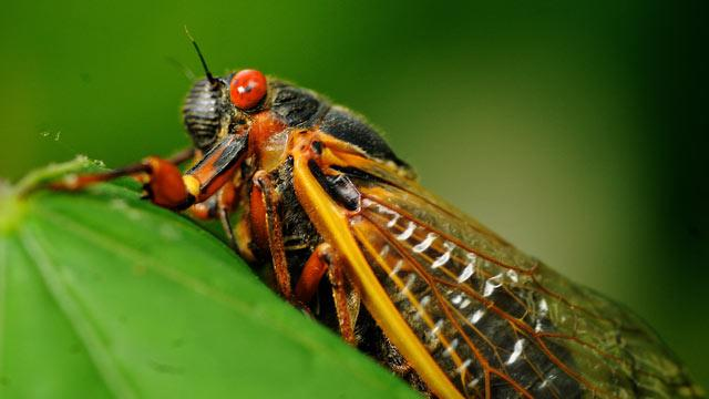 Not Near the Cicadas? Watch Them on Live Cicada Cam