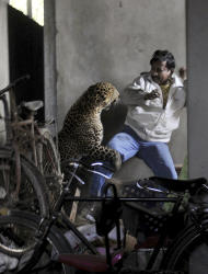 In this photo taken Saturday, Jan. 7, 2012, a wild full grown leopard attacks a man after wandering into a residential neighborhood in Gauhati, in the northern state of Assam, India. Later the leopard was tranquilized by wildlife official and taken to the state zoological park. The leopard ventured into a crowded area and injured four people before it was captured and caged, local reports said. (AP Photo/Manas Paran, The Sunday Indian) CREDIT MANDATORY