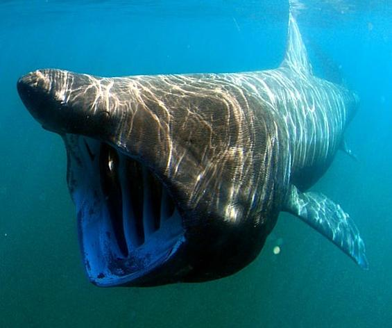 Basking Shark's Amazing Journey to the Tropics