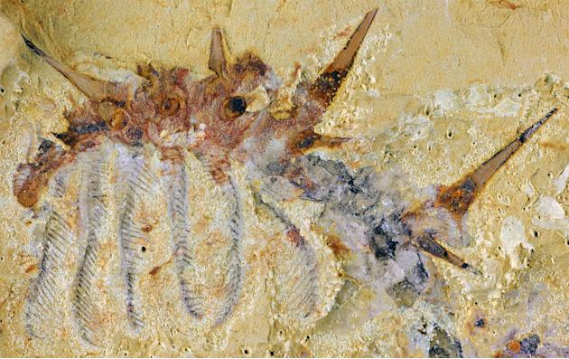 A fossil of Collinsium ciliosum, a Collins' monster-type lobopodian found in the early Cambrian Xiaoshiba biota of southern China